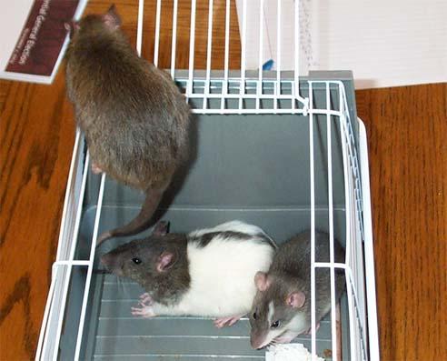 New Baby Rats November 2004