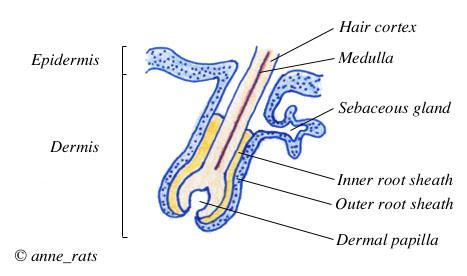 Primordial Follicle Anatomy Anatomy of a Hair Follicle