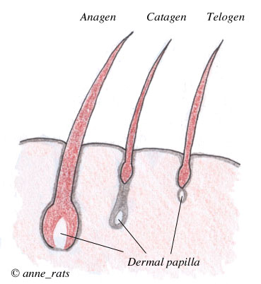 hair follicle growth cycle follicles go through repeated cycles of