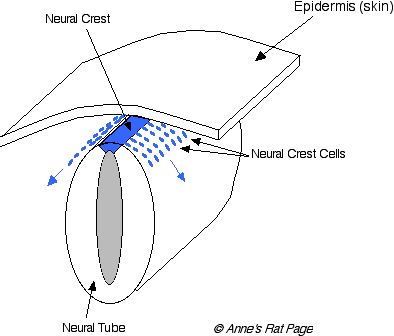 tevis blog: neural crest, Human Body