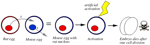 The Nucleus Of A Rat S Egg Is Placed Into An Enucleated Mouse Resulting Hybrid Activated Artificially May Start Dividing