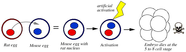 The Nucleus Of A Rat Egg Is Placed Inside Mouse Resulting Hybrid Embro Activated Artificially Embryo Makes It To 5 Or 8 Cell
