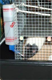 Rat Behavior Glossary
