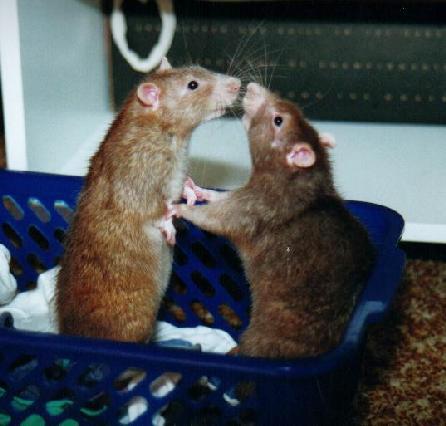 Rats inside a girls vagina pic 155